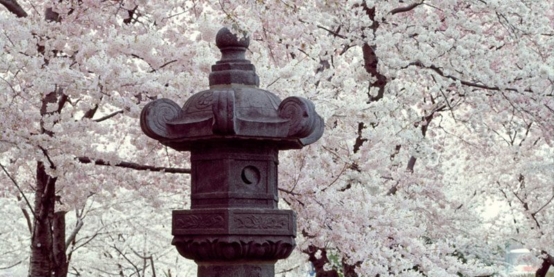Cherry trees along the Tidal Basin with Japanese Lantern